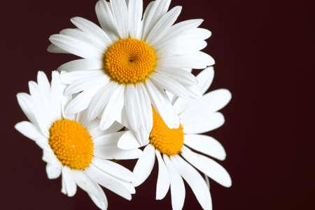 Beautiful daisy flowers on dark background