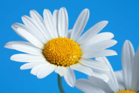Beautiful daisy flowers on blue background