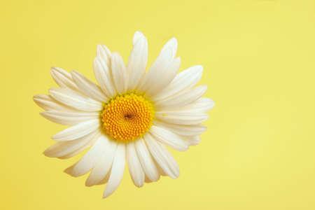 Beautiful daisy flower on yellow background