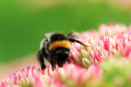 Bright macro shoot of the bumblebee sitting on the colourful flower