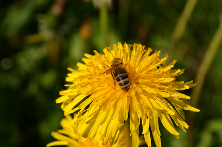 sow: Sow - thistle flower