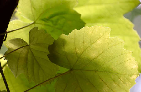 Fresh grape leaves in the summer sun