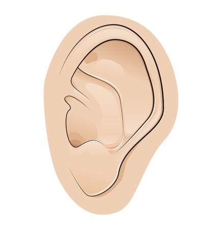 meatus: Ear