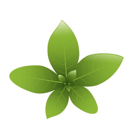 basil: Basil Leaves