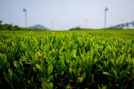 緑の茶畑 写真素材