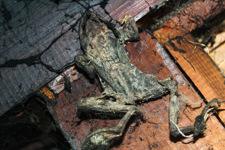 A dried-up skin of frog is in the house of old witch Фото со стока - 119842700