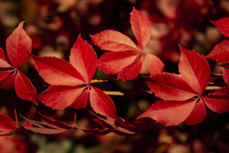 Red autumn leaves Virginia creeper