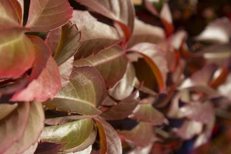 Red autumn leaves Virginia creeper