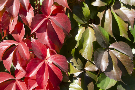 Red and green autumn leaves Virginia creeper Reklamní fotografie - 119841551