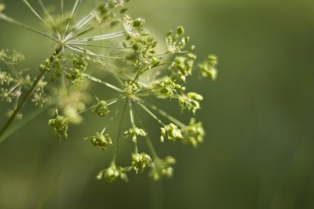 foeniculum vulgare: Fennel (Foeniculum vulgare)