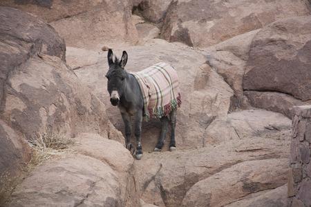 jack ass: Asini selvatici nel deserto di pietra.