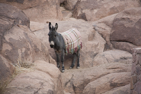 jack ass: Wild Donkeys in the stone desert.