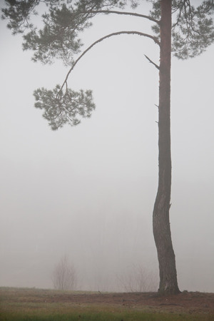 road and tree in fog. The trees with fog in the forest  photo