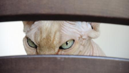 tutankhamen: Sphynx (cat) looking through opening. Closeup