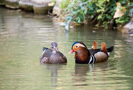 Mated pair of Mallards in beautiful water, with reflections Stock Photo