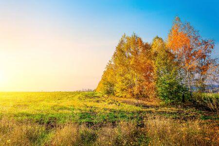Birches in autumn field Imagens