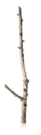 Dry branch of birch