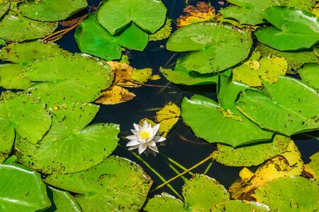 White water lilly Imagens
