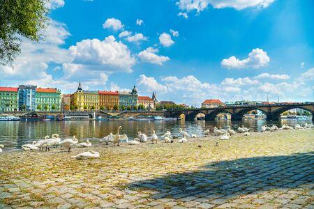 Flock of swans in Prague