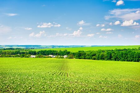 Growing crop on a field at sunny summer day