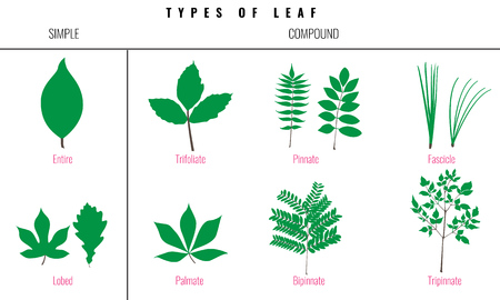 petiole: Leaf types infographics. Set of leaf collection. Silhouette Isolated Vector