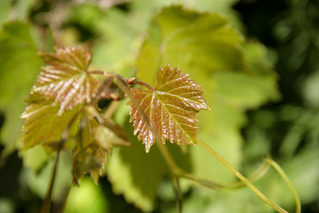 Grapevine in spring with young leaves.