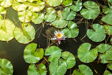 The water lily of the old pond is decorated with a colorful water lily. Stock Photo