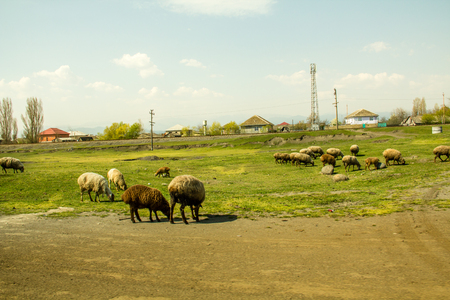 Pretty scenic view of sheep grazing. Landscape photography.