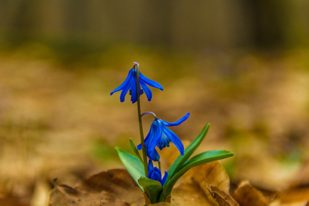 Scilla siberica spring beauty in forest. Spring is at door. Close up shot