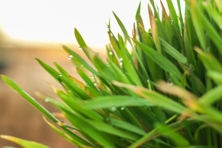 Fresh Green Grass with Drops Few. Nowrooz spring holiday plant.