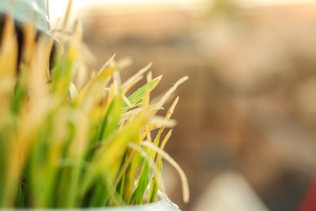 Fresh Green Grass with Drops Few. Nowrooz spring holiday plant. Extremely close up shot. Stock Photo