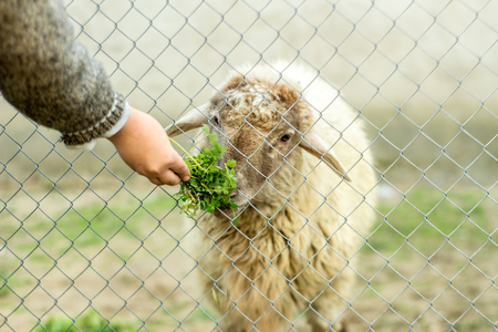 A young boy is feeding a sheep through a wired fence. He gives the sheep green food with his hand. Authentic concept.