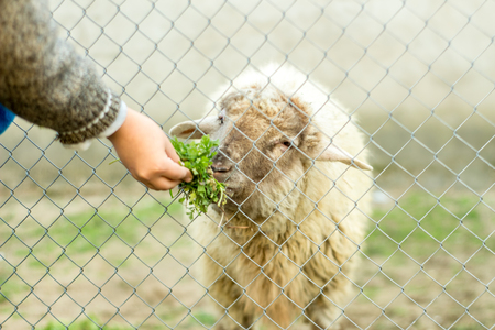 A young boy is feeding a sheep through a wired fence. He gives the sheep green food with his hand.