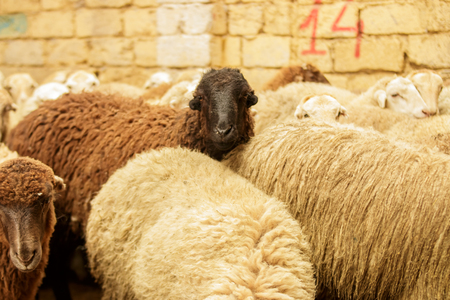 Livestock farm, flock of sheep. Indoor shot. Stock Photo