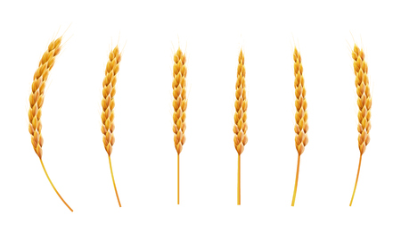 Set wheat ear. 3d Realistic vector illustration. High detailed illustrated.