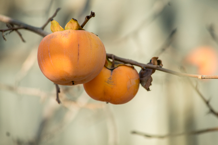 Persimmon on branch of persimmon tree. Autumn season.