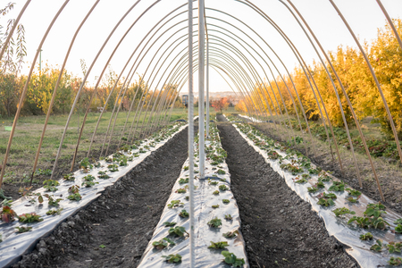 Strawberry rows in greenhouse. Strawberries growing under membrane film.