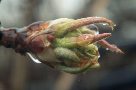 Macro of blooming fruit tree bud leaf and rain drop on it.