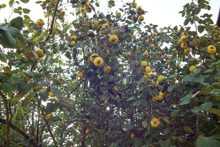 Quince tree. Group of yellow quinces on a tree in autumn. Stock Photo
