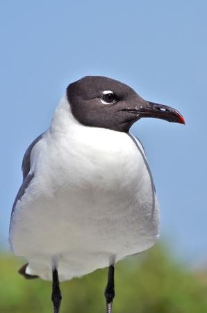 plummage: Gaviota se encuentra en el poste contra un cielo azul.