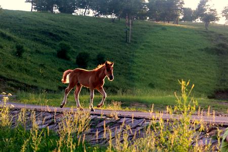 vigorously: A running horse. Stock Photo
