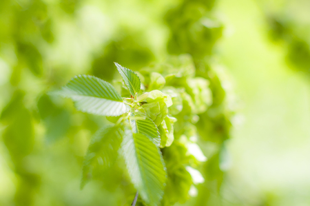 Green fresh spring leaves. With out of focus background. With juicy green colours. Stock Photo