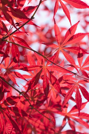 It is autumn season and leaves on a maple tree have become red. Stock Photo