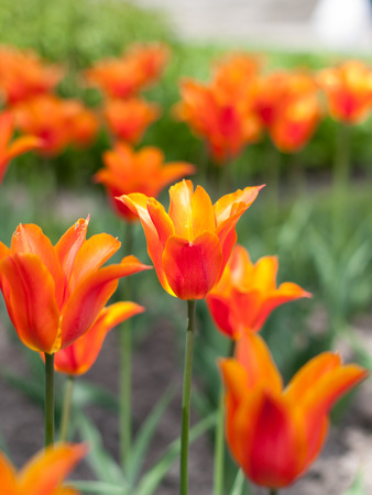 A closeup image of a red and orange tulip. It is growing in a lwan in botanic park. A gardening flower in soil. Stock Photo