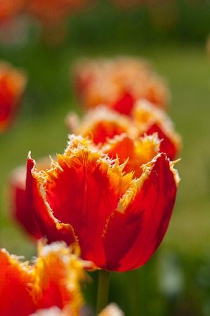 Exotic red tulip is growing in a garden. It has unique form of petals. With blurred background. Stock Photo