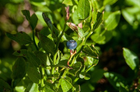 A blueberry is growing in a wild mountains in Carpathia region. With fresh green leaves that can be used to make herbal tea.