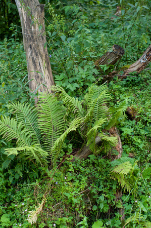 A wild fern is growing on an old tree stump. It is a plant of a mountain region with humid climate conditions. A fresh green grass surrounds the fern.