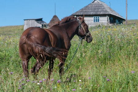 A brown stallion is grazing off fresh green grass in a small mountain village. It is on a chain to prevent from running away. It is a labour force for local farmers. Stock Photo