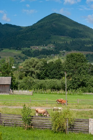 A beautiful rural mountain landscape. We can see cows walking around eating fresh green grass. Then we have fruit gardens. And high mountain on the background covered with forest.