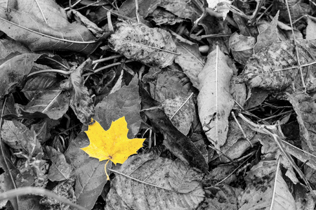 Black and white image with one single vivid autumn golden yellow leave on a carpet of fallen leaves. It is fall time, September and August. Everything is wet after the rain. Stock Photo